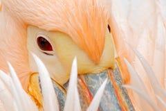 Den vita pelikan, Pelecanuserythrorhynchos, med fjädrar över räkning, specificerar ståenden av den orange och rosa fågeln, Bulgar Royaltyfri Bild