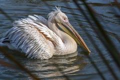Den vita pelikan är på vattnet Arkivbilder