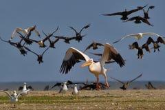 Den vita pelikan tar av från vattnet Arkivfoto