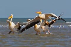 Den vita pelikan tar av från vattnet Arkivbilder