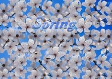 Den vita plommonet blomstrar mot den blåa himlen Arkivfoton