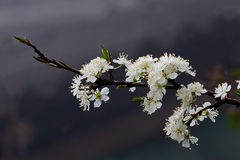 Den vita prunussalicinaen blommar i höga berg Vietnam Royaltyfri Bild