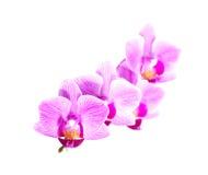 Den vita purpurfärgade phalaenopsisorkidén blommar, stänger sig upp Royaltyfria Bilder