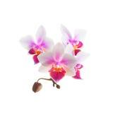 Den vita purpurfärgade phalaenopsisorkidén blommar, stänger sig upp Royaltyfri Fotografi