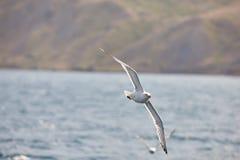 Den vita seagullen skjuta i höjden flyg mot bakgrunden av den blåa himlen, molnen och bergen En härlig seagull svävar över set Royaltyfri Fotografi