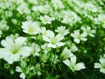 Den vita skogen blommar att blomma i vår Säsongsbetonad bakgrund för abstrakt vår med vita blommor, easter blom- bild med kopieri Royaltyfri Foto