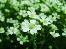 Den vita skogen blommar att blomma i vår Säsongsbetonad bakgrund för abstrakt vår med vita blommor, easter blom- bild med kopieri Royaltyfria Bilder