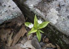 Den vita stjärnan blommar i de Catskill bergen arkivfoto