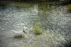 Den vita stora hunden simmar i floden Fotografering för Bildbyråer