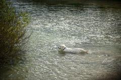 Den vita stora hunden simmar i floden Royaltyfri Bild