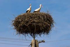 Den vita storken. Royaltyfria Bilder