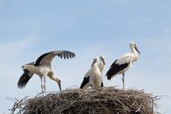 Den vita storken behandla som ett barn fåglar i ett rede Arkivfoto