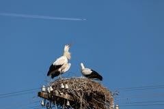 Den vita storken behandla som ett barn fåglar i ett rede Royaltyfri Foto
