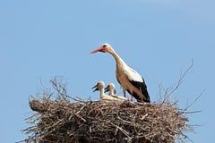 Den vita storken med barn behandla som ett barn storken på redet Arkivfoto