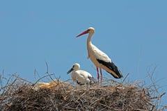 Den vita storken med barn behandla som ett barn storken på redet Royaltyfri Fotografi