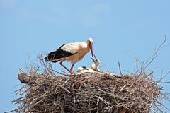 Den vita storken med barn behandla som ett barn storken på redet Royaltyfri Bild