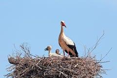 Den vita storken med barn behandla som ett barn storken på redet Fotografering för Bildbyråer