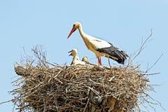 Den vita storken med barn behandla som ett barn storken på redet - Ciconiaciconia Arkivfoto