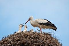 Den vita storken med behandla som ett barn fåglar i ett rede Fotografering för Bildbyråer