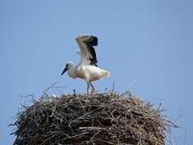 Den vita storken med behandla som ett barn fåglar i ett rede Royaltyfri Bild