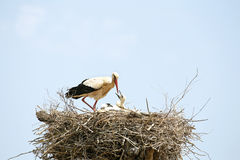 Den vita storken som matar henne, behandla som ett barn på redet Royaltyfria Foton