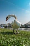 Den vita svanen är ser mig på det riverban Royaltyfri Foto