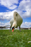 Den vita svanen äter gräs nära bron över floden Arkivfoto