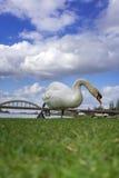Den vita svanen äter gräs nära bron Royaltyfri Bild