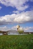 Den vita svanen äter gräs nära bron Arkivbild