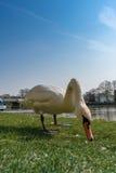 Den vita svanen äter på det gröna gräset Royaltyfri Fotografi