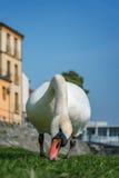 Den vita svanen äter på det gröna gräset av flodstranden Royaltyfria Foton