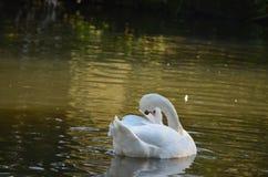Den vita svanen Cygnini simmar i en sjö under höst, behagfull fågel nära till kusten royaltyfri fotografi
