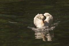 Den vita svanen med en röd näbb svävar på dammet och att skumma vatten och reflekterade i det fotografering för bildbyråer