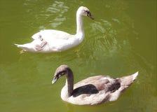 Den vita svanen och den lösa anden på sjön i parkerar arkivfoto