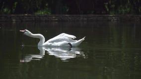 Den vita svanen simmar i en sjö i parkerar arkivfilmer