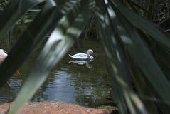 Den vita svanen simmar längs sjön royaltyfria bilder