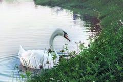 Den vita svanen simmar nära kusten Fotografering för Bildbyråer