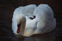 Den vita svanen som kretsar på it's, äger reflexion i vattnet Arkivbild