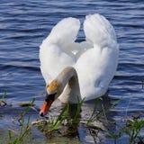 Den vita svanen svävar i blått vatten. Royaltyfri Foto