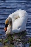 Den vita svanen svävar i blått vatten. Royaltyfri Fotografi