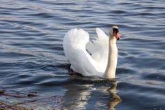 Den vita svanen svävar på floden Arkivfoto