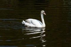 Den vita svanen svävar på vatten och reflekteras Fotografering för Bildbyråer