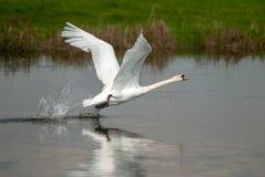 Den vita svanen tar av Fotografering för Bildbyråer