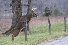 Den vita Tailed hjortbocken hoppar ett staket i den Cades lilla viken fotografering för bildbyråer