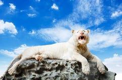 Den vita tigern Arkivfoton
