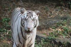 den vita tigern i den zoologiska vandalooren parkerar Arkivfoton