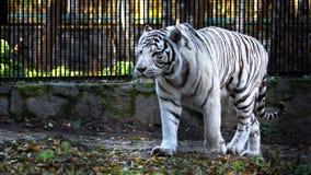 Den vita tigris för Panthera för Bengal tiger bengalensisen eller blekt tiger, i zoo Fotografering för Bildbyråer