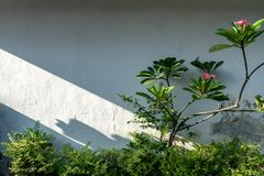 Den vita trädgårdväggen med några gröna växter och frangipaniträd med skuggor från morgonljuset royaltyfri bild