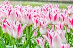 Den vita tulpan blommar på trädgården Arkivfoton