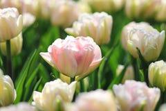 Den vita tulpan med rosa färger markerar i ett fält av vita tulpan Arkivfoton